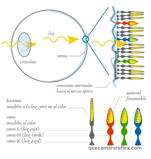 Estructura del ojo humano - Conos y Bastones
